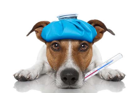 Ziek en zieke hond van Jack Russell op de vloer met kater en koorts met een ijszak op het hoofd, met een thermometer in de mond, op een witte achtergrond Stockfoto