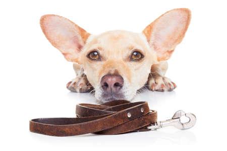 흰색 배경에 고립 된 치와와 강아지, 주인과 함께 산책을 기다리고 구걸하고 당신을 찾고,