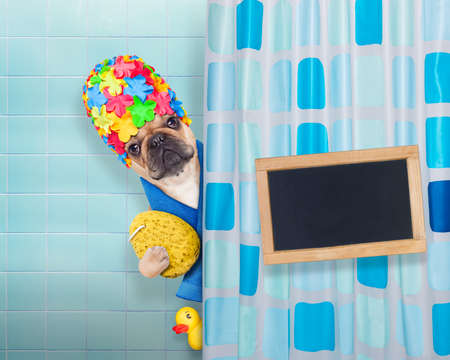 body grooming: french bulldog dog in a bathtub not so amused about that , with yellow plastic duck and towel, with banner and blackboard