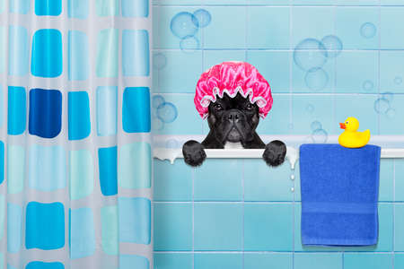 french bulldog dog in a bathtub not so amused about that , with yellow plastic duck and towel, behind shower curtain ,wearing a bathing cap