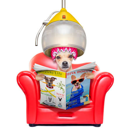 perros graciosos: perro de la chihuahua en el peluquero o peluquera, sentado en la silla, bajo el capó del secado, la lectura de una revista o periódico, aislado en fondo blanco Foto de archivo
