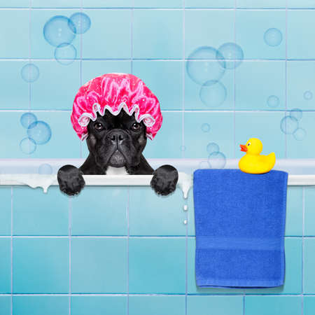 baths: french bulldog dog in a bathtub not so amused about that , with yellow plastic duck and towel,wearing a bathing cap Stock Photo