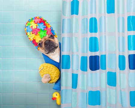 humor: french bulldog dog in a bathtub not so amused about that , with yellow plastic duck and towel, behind shower curtain  ,wearing a bathing cap