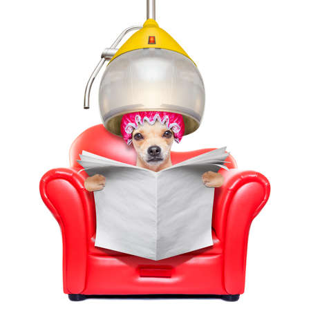 funny people: chihuahua dog at the groomer or hairdresser, under the drying hood,reading a blank newspaper, isolated on white background