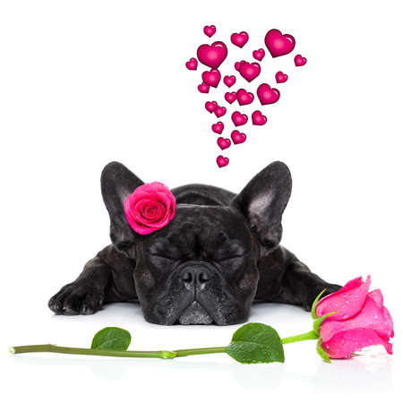 humour: french bulldog  dog looking and staring at you   ,while lying on the ground or floor, with a valentines rose on head and on floor, isolated on white background,