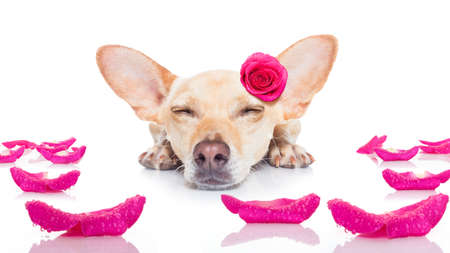rosas rojas: chihuahua dog looking and staring at you   ,while lying on the ground or floor, with a valentines rose on head and on floor, isolated on white background,