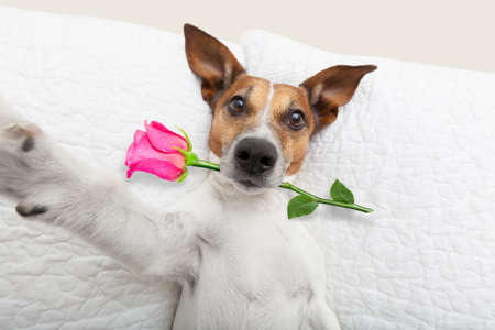 pug: jack russell  dog looking and staring at you   ,while lying on bed with valentines rose in mouth, taking a selfie , in love