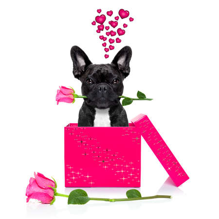 humour: french bulldog  dog with valentines day rose in mouth , jumping out of a present or gift box , as surprise, isolated on white background Stock Photo