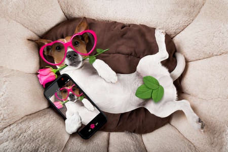 puppy: jack russell  dog looking and staring at you   ,while lying on bed with valentines rose in mouth, taking a selfie , in love