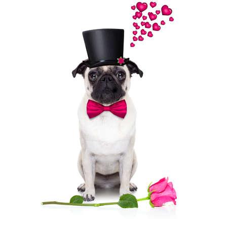 flores de cumpleaños: perro pug mirando y mirando a usted, con un San Valentín se levantó en el suelo, aislado en el fondo blanco