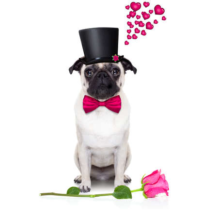 rose: pug   dog looking and staring at you   , with a valentines rose on floor,  isolated on white background Stock Photo