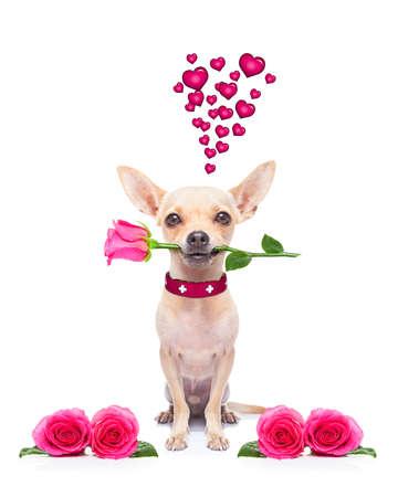 flores de cumplea�os: perro chihuahua barro amasado, mirando a usted, con un San Valent�n rosa en la boca, aislado en fondo blanco