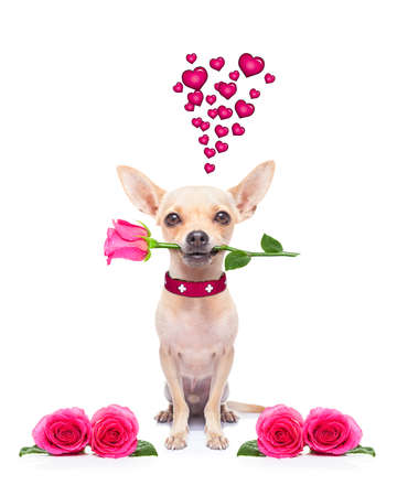 dog bite: pug chihuahua dog, staring at you   , with a valentines rose in mouth,  isolated on white background Stock Photo