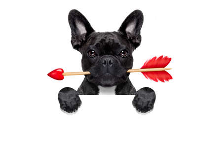cupids: valentines french bulldog dog in love holding a cupids arrow with mouth ,behind blank empty blackboard or banner , isolated on white background