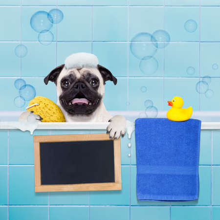 body grooming: pug dog in a bathtub not so amused about that , with yellow plastic duck and towel , holding a blank empty banner