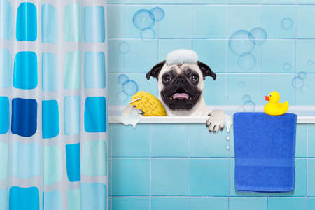 pug dog in a bathtub not so amused about that , with yellow plastic duck and towel, behind shower curtain