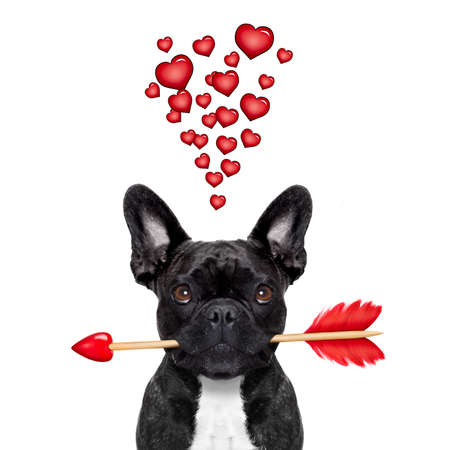 cupids: valentines french bulldog dog in love holding a cupids arrow with mouth ,thinking and hoping for love in life,  isolated on white background