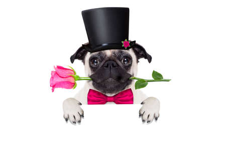 pug   dog looking and staring at you   , with a valentines rose in mouth,holding empty blank blackboard or placard,   isolated on white background