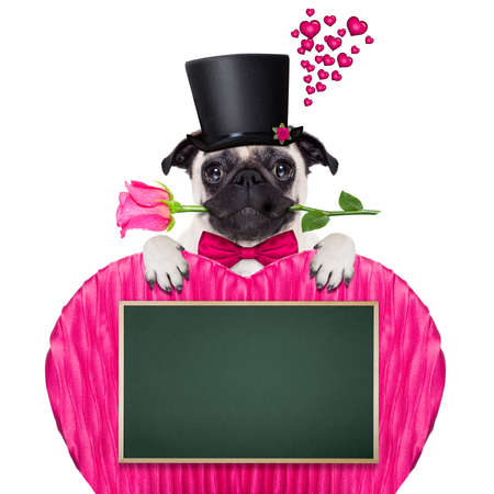 pug   dog looking and staring at you   , with a valentines rose in mouth,holding empty blank blackboard or placard in heart shape,   isolated on white background Stock Photo