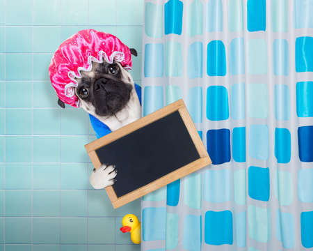 placard: pug dog in a bathtub not so amused about that , with yellow plastic duck and towel, behind shower curtain  ,wearing a bathing cap, holding a blank blackboard or placard