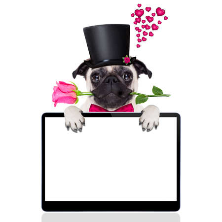 humour: pug   dog looking and staring at you   , with a valentines rose in mouth,  isolated on white background, behind pc computer tablet screen