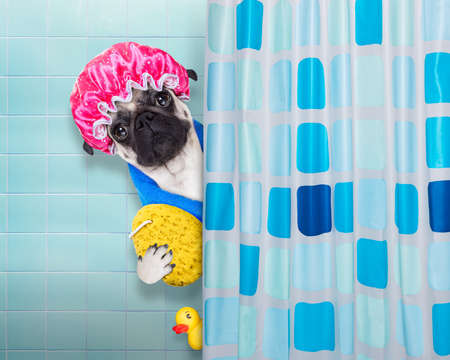 spa: pug dog in a bathtub not so amused about that , with yellow plastic duck and towel, behind shower curtain  ,wearing a bathing cap Stock Photo