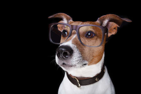animal shelter: jack russell terrier dog isolated on black background looking at you  with reading glasses , looking very smart