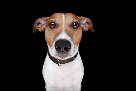 jack russell terrier dog isolated on black background looking at you frontal