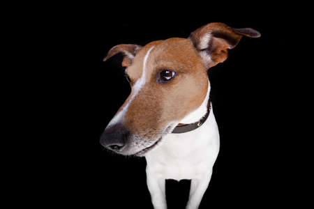 jack russell: jack russell terrier dog isolated on black background looking to the left side