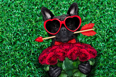 dog bite: valentines french bulldog dog in love holding a cupids arrow with mouth ,wearing sunglasses,lying on meadow grass in park , with  bouquet of roses Stock Photo