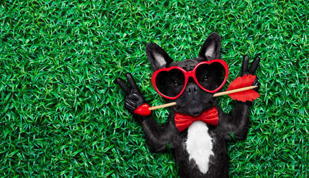 cupids: valentines french bulldog dog in love holding a cupids arrow with mouth ,wearing sunglasses,lying on meadow grass in park , with peace or cool victory fingers, negative space to left Stock Photo
