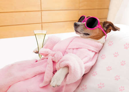jack russell dog relaxing  and lying, in   spa wellness center ,wearing a  bathrobe and funny sunglasses , champagne cocktail