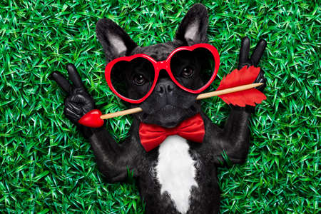 cool: valentines french bulldog dog in love holding a cupids arrow with mouth ,wearing sunglasses,lying on meadow grass in park , with peace or cool victory fingers