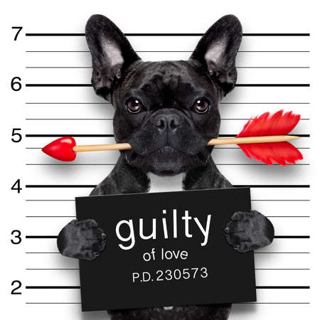 prisoner of love: valentines bulldog  dog with rose in mouth as a mugshot guilty for love