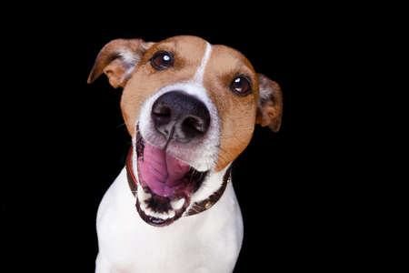 jack up: jack russell terrier dog isolated on black background looking at you  with open smacking mouth