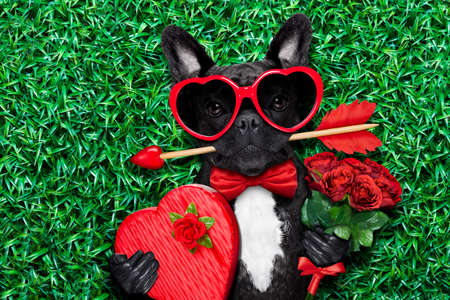 cupid: valentines french bulldog dog in love holding a cupids arrow with mouth ,wearing sunglasses,lying on meadow grass in park , with gift box and roses Stock Photo