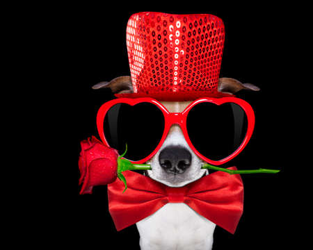 black dog: jack russell terrier dog isolated on black background looking with red heart valentines sunglasses , rose in mouth