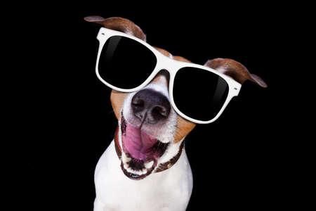 Jack Russell Terrier hond geïsoleerd op zwarte achtergrond op zoek naar jou met een zonnebril, op zoek naar heel slim en koel