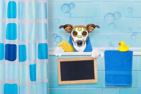 body grooming: jack russell dog in a bathtub not so amused about that , with yellow plastic duck and towel, face or  beauty mask with cucumber