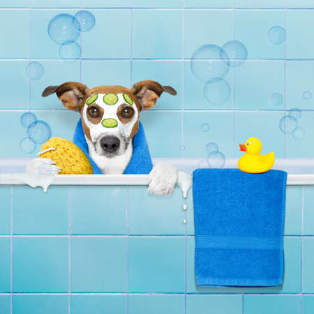 jack russell dog in a bathtub not so amused about that , with yellow plastic duck and towel, face or  beauty mask with cucumber