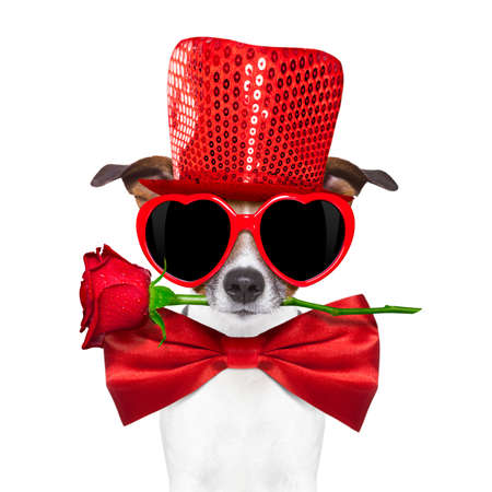 jack russell terrier dog isolated on white with valentines red rose in mouth , tie and red hat wearing funny heart sunglasses