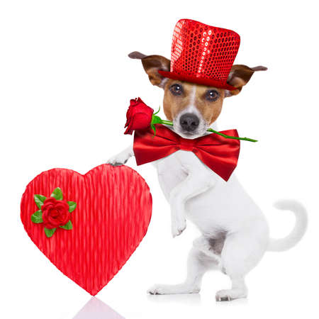 jack russell terrier dog isolated on white with valentines red rose in mouth , tie and red hat wearing funny heart sunglasses , big present or gift box