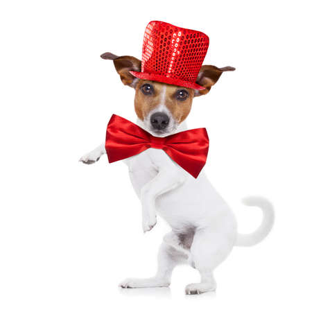 jack russell terrier dog isolated on white background , funny party hat and tie, high five paw