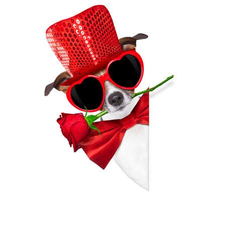 perros graciosos: Jack Russell terrier perro aislado en blanco con San Valentín rosa roja en la boca, detrás de la pancarta en blanco de vacío o un letrero, aislado en fondo blanco