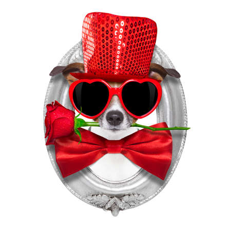 jack russell terrier: jack russell terrier dog isolated on white with valentines red rose in mouth , inside a frame on the wall , isolated on white background