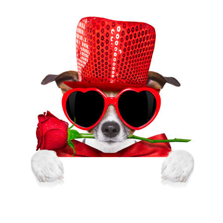 jack russell terrier: jack russell terrier dog isolated on white with valentines red rose in mouth , behind blank empty banner or placard, isolated on white background