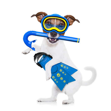 fins: snorkeling scuba diving jack russell dog  with mask and fins ,  isolated on white background