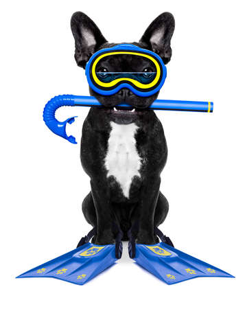 frenchie: Snorkeling scuba diving french bulldog dog  with mask and fins , isolated on white background