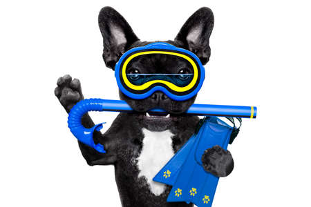 scuba goggles: Snorkeling scuba diving french bulldog dog  with mask and fins , isolated on white background