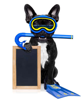 frenchie: snorkeling scuba diving french bulldog dog  with mask and fins , holding  blank blackboard or placard,  isolated on white background Stock Photo